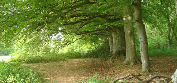Stansted-beeches-facing-West-Orman theme 568×268